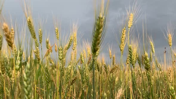 Thumbnail for Spikelets of Wheat on a Large Field in Cloudy Summer Day.