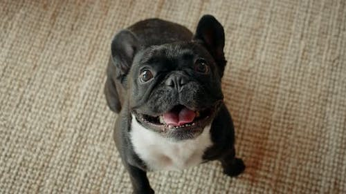 Cute Playful French Bulldog in Living Room