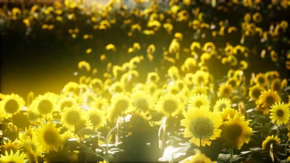 Thumbnail for Sunflowers Blooming in Late Summer