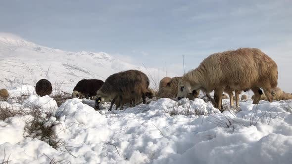Thumbnail for Sheep Grazing In Winter