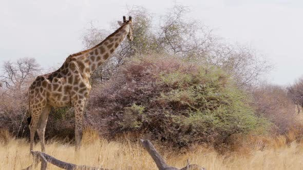 Giraffe grazing on tree, Namibia, Africa wildlife