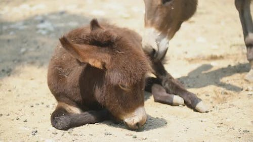 Little Donkey Lies and Does Not Want To Get Up