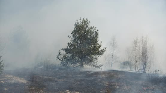 Pine Burns In The Middle Of The Forest