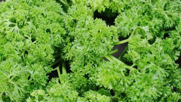 Thumbnail for Parsley Rotating Background