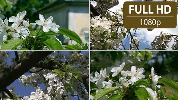 Thumbnail for Cherry Tree Flower (4-Pack)