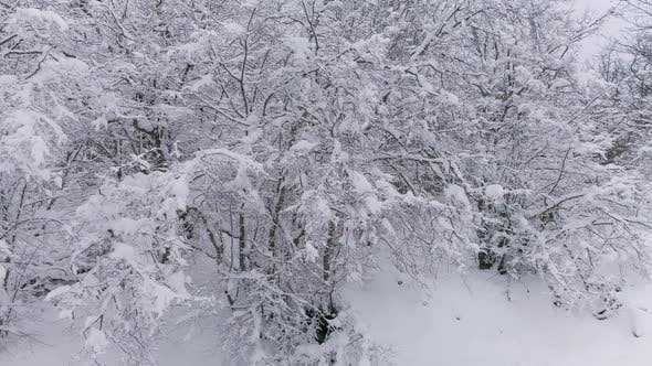 Thumbnail for Beautiful Winter Forest Covered with Snow