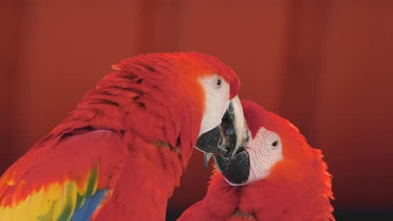 Thumbnail for Pair of Red macaw