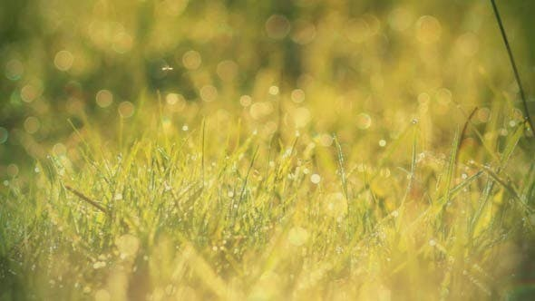 Thumbnail for Morning Dew Drops On Green Grass