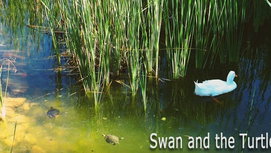 Swan and the Turtles