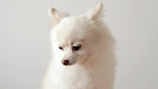 Thumbnail for White pomeranian over white background
