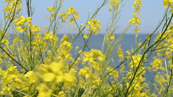 Thumbnail for Yellow Small Flowers Near Sea