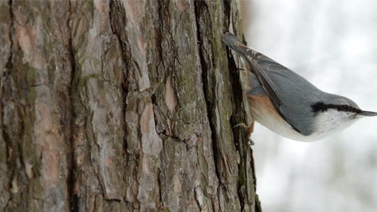 Thumbnail for Nuthatch on a Tree