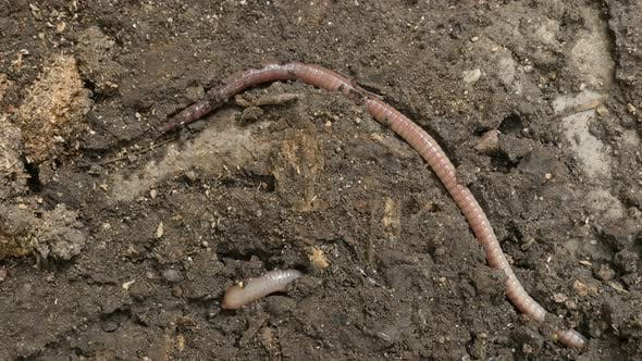 Thumbnail for Lumbricus terrestris earth worm in the ground close-up 4K video