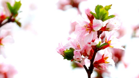 Thumbnail for Cherry Flowers 2