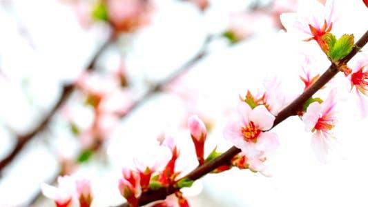 Thumbnail for Cherry Flowers 1