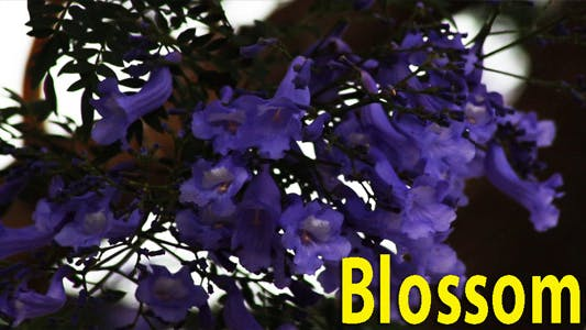 Thumbnail for Blossoms
