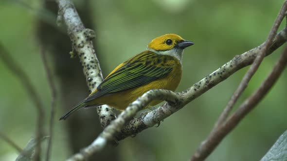 Silver-throated Tanager Lone in Costa Rica Central America