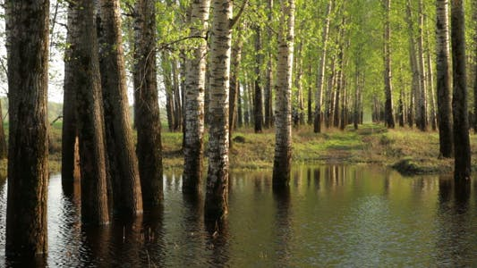 Thumbnail for Spring Forest in Water