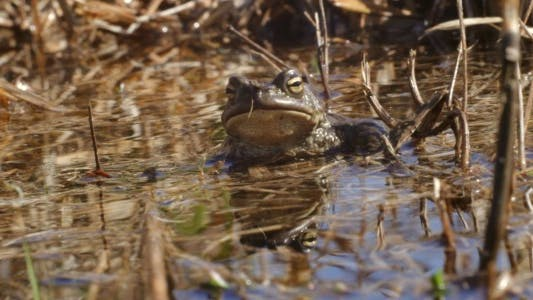 Thumbnail for Frog in the Pond in Spring