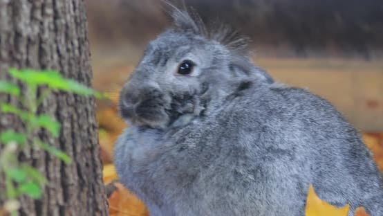 Thumbnail for French Lop Is a Breed of Domestic Rabbit Developed in France in the 19Th Century