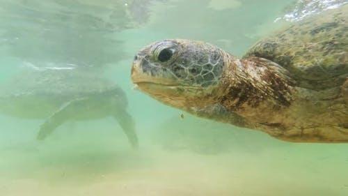 Underwater  Footage of Two Green Turtles Swimming Underwater in Ocean