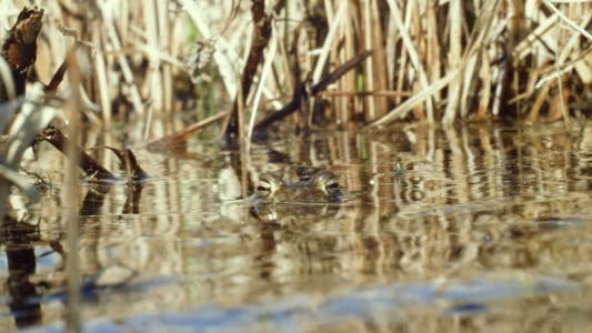 Thumbnail for Frog in a Pond in Spring Watching Camera, Escaping