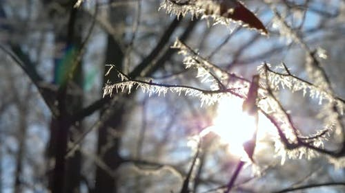 Frozen tree branch in winter forest. Frost needles icicles on the branches of tree in the sunlight