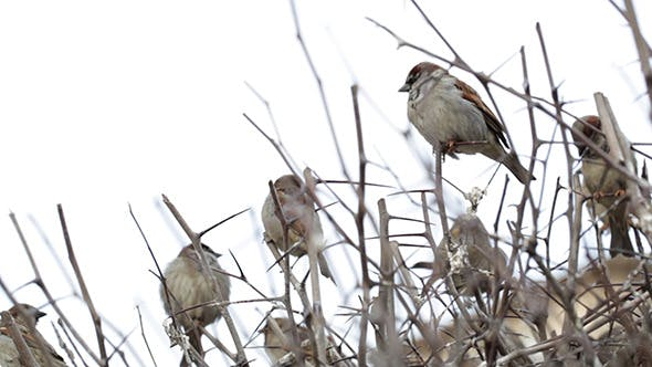 Cover Image for Flock Of Sparrows Sitting On Bare Bush 1