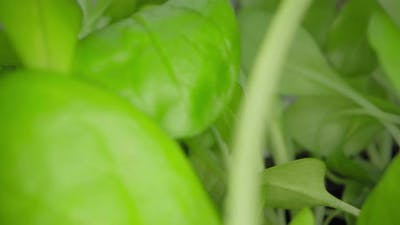 Close Up Video of Growing Microgreen Sprouts