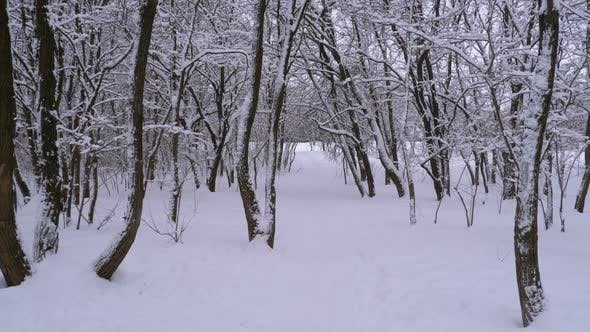 Thumbnail for Flying Through the Winter Forest. Snowy Path in a Wild Winter Forest Between Trees