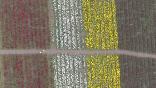 Aerial Footage viewing a flower field
