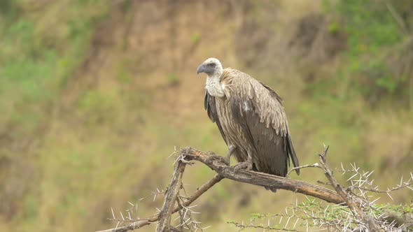 Thumbnail for White-backed vulture perching on a tree