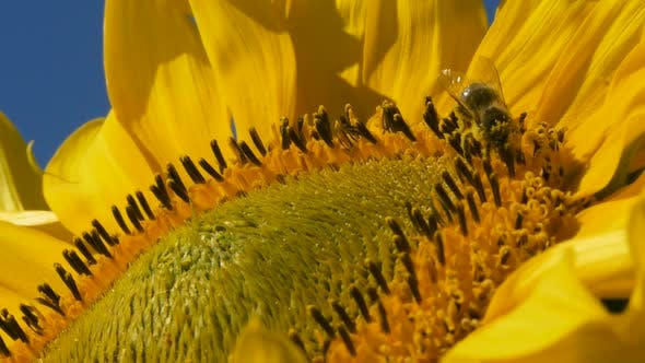 A Bee Collects Pollen On A Sunflower