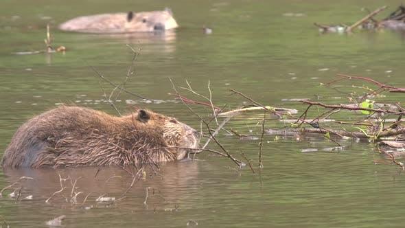 Thumbnail for Beaver Adult Pair Eating Feeding Swimming in Summer in South Dakota