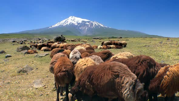 Thumbnail for Herd of Brown Sheep in Front of High Snowy Volcanic Mountain