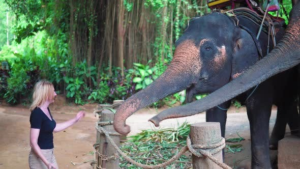 Thumbnail for A young woman feeds an elephant with palm tree leaves from a basket