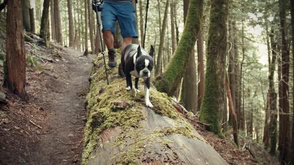Thumbnail for Boston Terrier Dog Hiking Green Forest