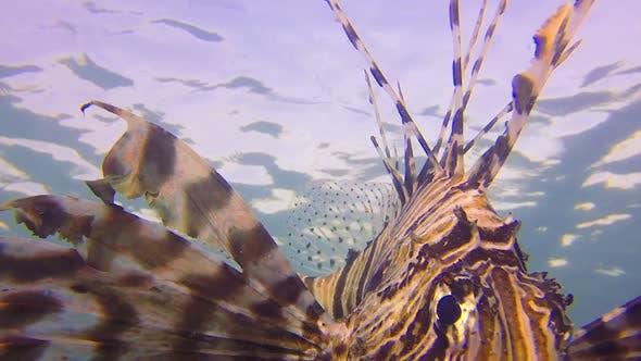 Thumbnail for Underwater Commen Lion-Fish