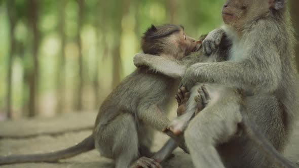 Playful Macaques In Monkey Forest