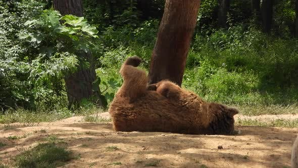 Bär In Natürlichem Lebensraum Unter Den Bäumen Im Wald