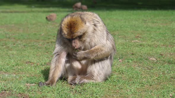 Thumbnail for Barbary ape male eating at Cedre Gouraud Forest