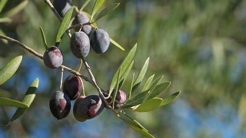 France, Branch of olive tree with olives