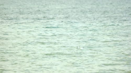Seagull Floating on the Sea Surface