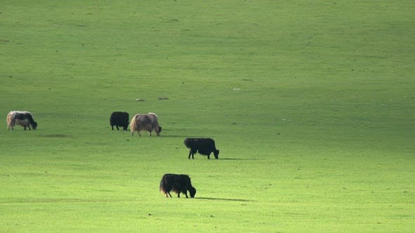 Thumbnail for Black and Brown Yaks Grazing in the Meadow