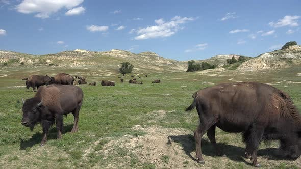 Thumbnail for Bison Bull Cow Adult Young Herd Many in Summer Green Grass