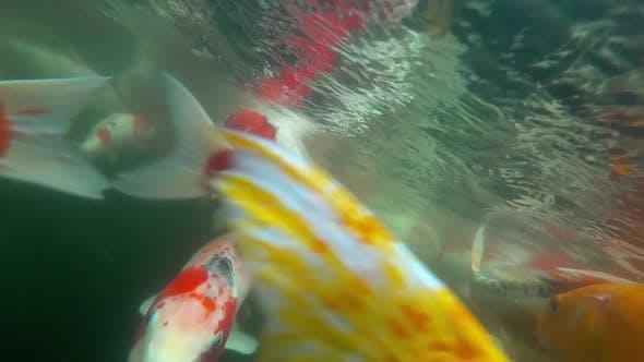 Thumbnail for Underwater Koi Fish in Pond Eating