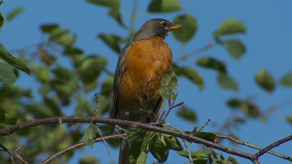 Robin Adult Lone Resting in Summer in South Dakota United States