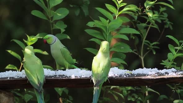 Thumbnail for Rose-ringed parakeet in Sri Lanka