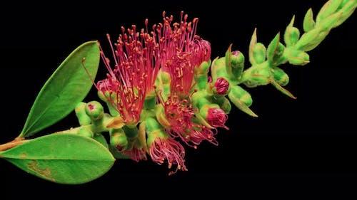Time Lapse of a Bottlebrush Flower Opening.