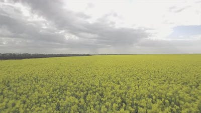 Cloudy Weather And Rapeseed Field
